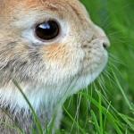 anatomia de un conejo, morfologia