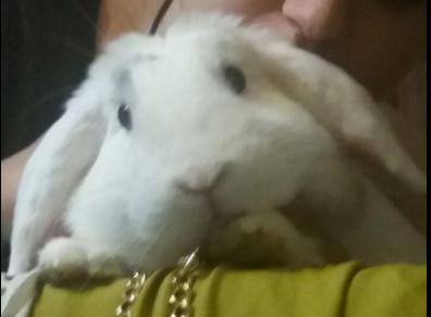 El conejo belier enfadado