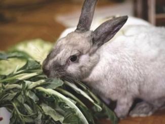 Alimentos que desgastan los dientes de conejo