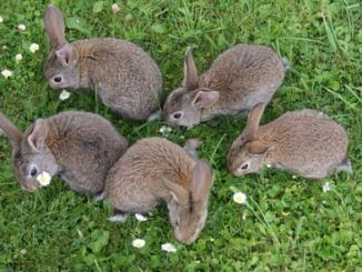 El conejo es un roedor en el primer sentido del término porque roe mucho y con frecuencia, pero no es parte del orden de los roedores , sino de los lagomorfos
