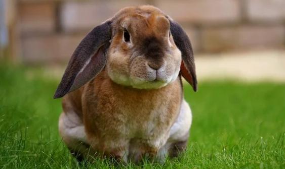 Muchos conejos sufren problemas intestinales . Este es el caso cuando este último traga cantidades más o menos significativas de cabello mientras se lava.
